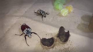 БЛОГ #4 - Домашние жуки Coleoptera (Жук-голиаф - самый большой жук)