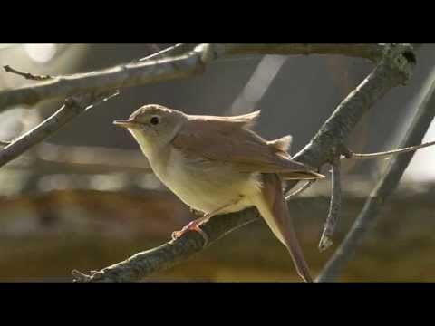 A Nightingale's Song - 1 Hour of Beautiful birdsong