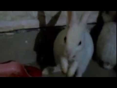 Funny rabbit video, rabbits sleep after eating