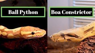 Ball Python Vs Boa Constrictor   Best Beginner Snake Challenge