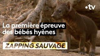 La première épreuve des bébés hyènes - ZAPPING SAUVAGE