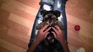 Yorkshireterrierstud.com - Yogi  Fighting Sleep Funny -  Akc Yorkshire Terrier Male Yorkie Stud!