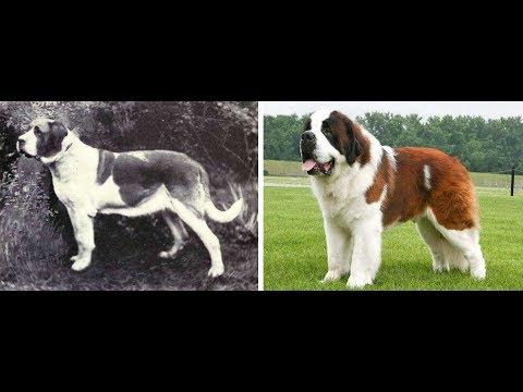 Como han evolucionado las razas de perros en los últimos 100 años