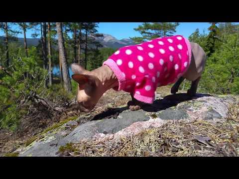 Sphynx cat Pūkė a great adventure in Norway nature / DonSphynx /