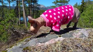 Sphynx cat Pūkė a great adventure in Norway nature / DonSphynx /