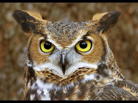 Spirit Animal ~ Owl ~Native American Music -Niall