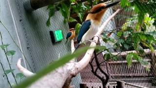 Guam Kingfisher Lunchtime