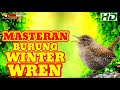Masteran Burung Winter Wren  Mp3 - Mp4 Download