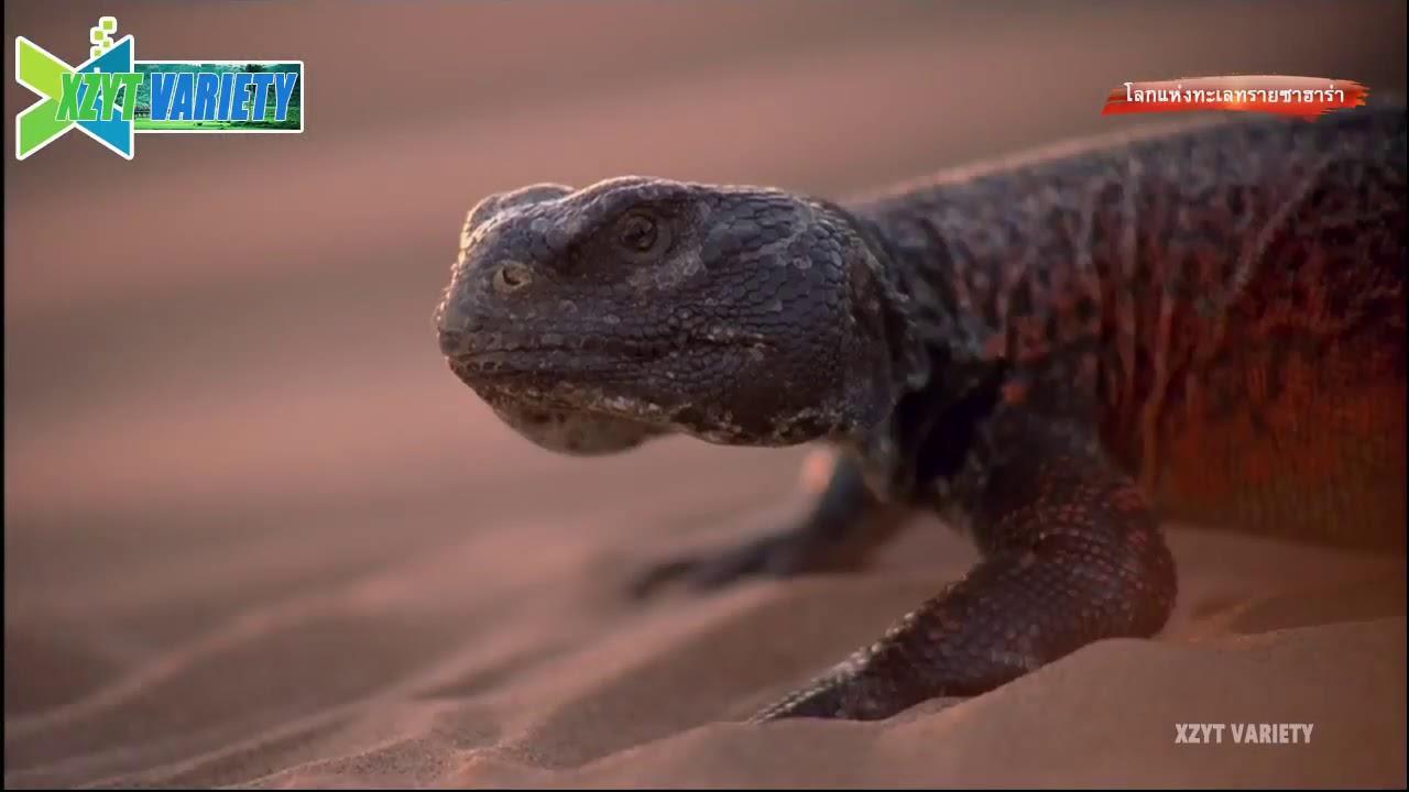 เปิดโลกสัตว์ในทะเลทรายซาฮาร่า