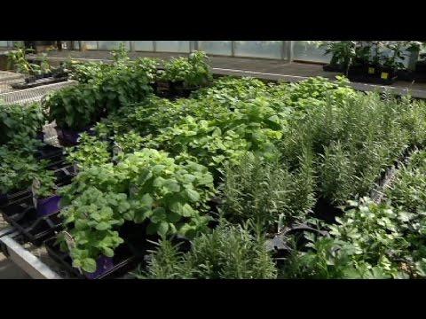 In the Garden: Not-so-common herbs