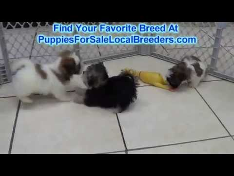 Teddy Bear, Puppies For Sale, In Knoxville, County, Tennessee, TN, 19Breeders, Murfreesboro, Jackson