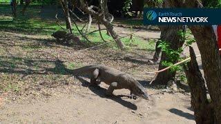 Komodo dragon charges film crew