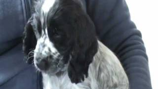 Cocker Spaniel Blue Roan Puppy Charlie Dog For Jo And Rob Xxx
