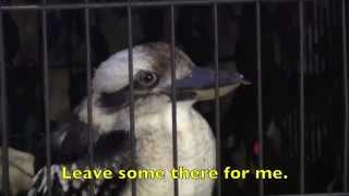 Amazingly Funny KOOKABURRA SONG - Lyrics- Children