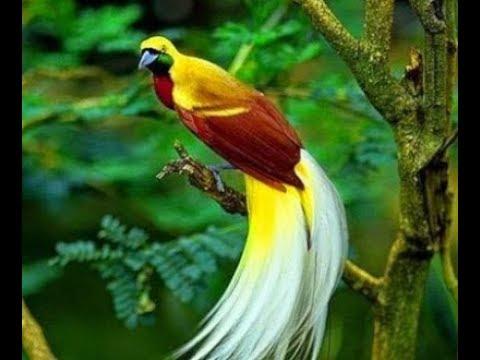 KICAU MASTER BURUNG CENDRAWASIH ||#Cendrawasih, #BirdOfParadise, #Papua, #PecintaBurung