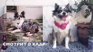 Как фотографировать собак | Ошибки и советы | Чихуахуа Софи