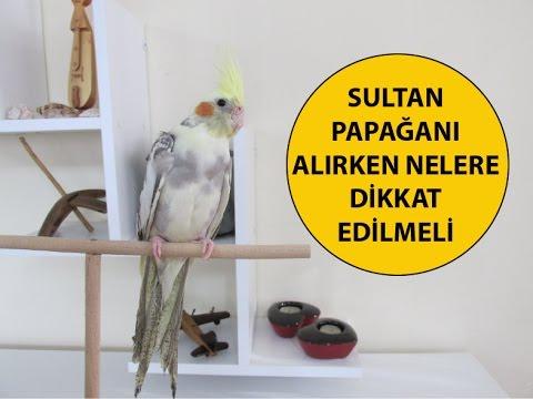 Sultan Papağanı Alırken Nelere Dikkat Edilmeli