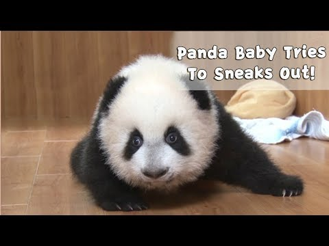Baby Panda Carefully Sneaks Out For Fun | iPanda