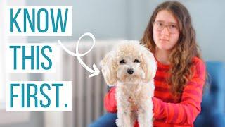 5 razones para NO hacerse un Maltipoo | ¿Es el Maltipoo el perro adecuado para ti?