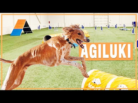 Saluki's first agility competition!