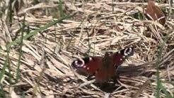 Драгалевци   Пеперуда Пауново око