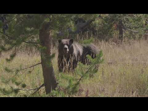 Grizzly encounter in Yellowstone