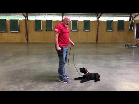 """Giant Schnauzer Puppy """"Kemper"""" 15 Wks Early Obedience Training by PDS"""
