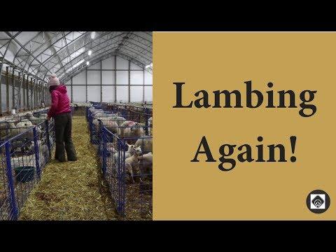 My Lambing Set up & Protocol  |  Vlog 66