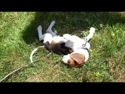 ArnieTheBeagle - Day 2 - Coming When Called - 8-Week Old Beagle Puppy!