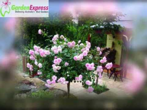 Garden Express guide to bare rooted roses - YouTube