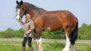 Top 10 größte Pferd der Welt