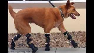 Самые необычные протезы для животных