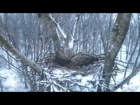 Rétisas fészek / White-tailed Eagle nest