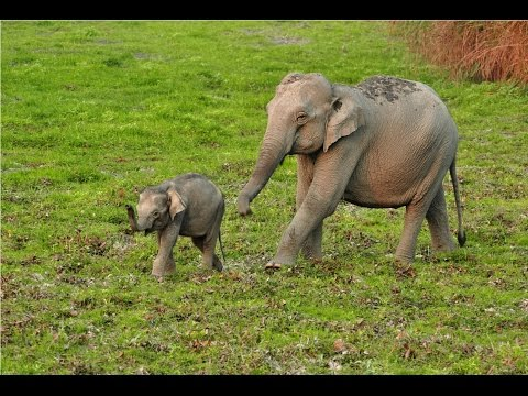 Baby Elephant with Mother - Kaziranga