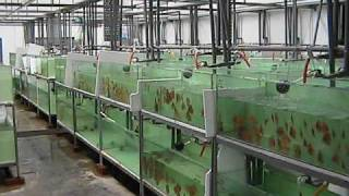 Tony Tan Discus Farm