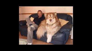 飼い主も困惑しかねないほど大きく育った犬たちをご紹介します。 飼い主...