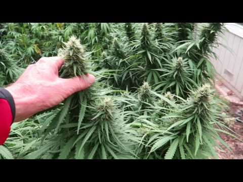 Grow Marijuana: Is It Time to Harvest Outdoor Cannabis Crop?