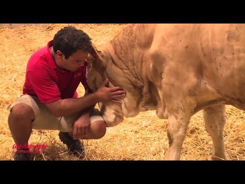 Cow Dances For Joy And Shows Man Gratitude After Being Freed From Tiny Stable