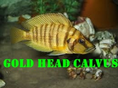 Gold Head Calvus ( NASIL BESLENİR - NASIL YAVRU ALINIR)