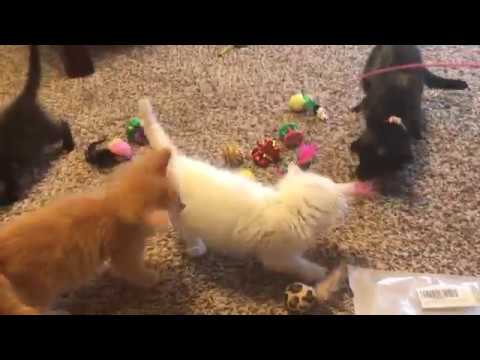 Foster Kittens Play With New Toys