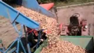 Ursus 2812 Zbiór cebuli kombajnem Bolko