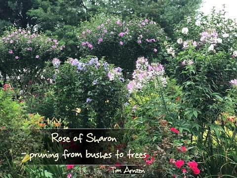 Rose of Sharon - pruning from bushes to trees