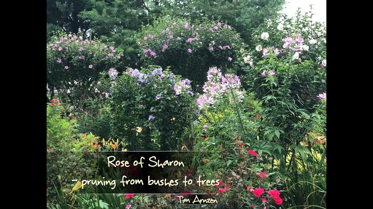Rose Of Sharon Pruning From Bushes To Trees Youtube