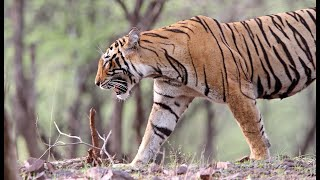Monsoons in tiger forest - Ranthambhore