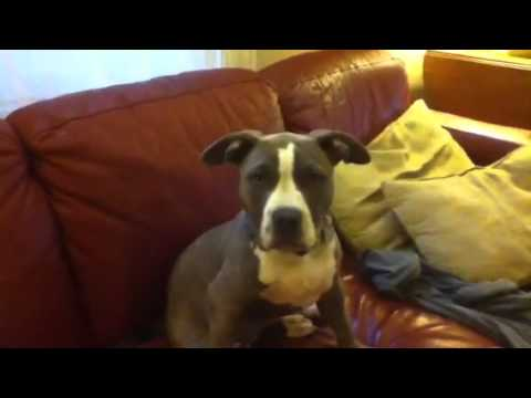 Cute Pitbull Puppy Howling