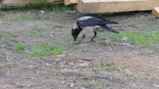 Ворона - умная птица!