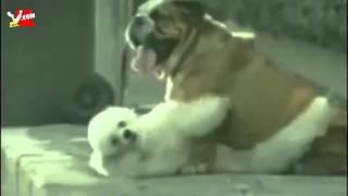 Dişi Köpek , Erkek Köpeği Aldatırsa  Çok Komik