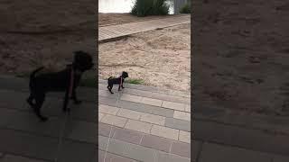 Порода собак Пти Брабансон.