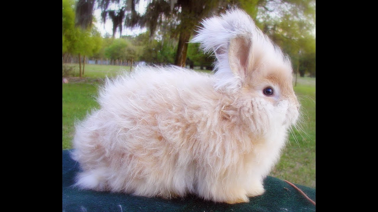 Rabbit English Angora ...