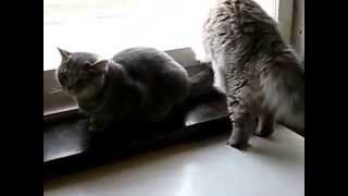Британская длинношерстная кошка и короткошерстная - rukot.com